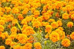 Marigold κίτρινο στον κήπο για το σχέδιο υποβάθρου Στοκ Εικόνες