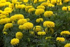 marigold κίτρινο Στοκ Εικόνες