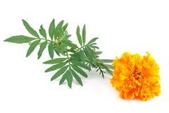 marigold λουλουδιών κίτρινο Στοκ Εικόνα