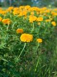 marigold λουλουδιών πεδίων κίτρινο Στοκ φωτογραφία με δικαίωμα ελεύθερης χρήσης