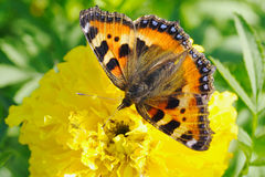 marigold λουλουδιών πεταλούδ Στοκ Εικόνα