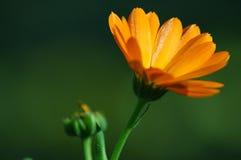 marigold λουλουδιών στοκ εικόνες με δικαίωμα ελεύθερης χρήσης