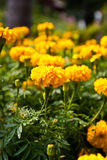 marigold λουλουδιών Στοκ φωτογραφία με δικαίωμα ελεύθερης χρήσης