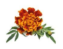 marigold λουλουδιών Στοκ Φωτογραφίες