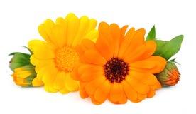 marigold λουλουδιών Στοκ φωτογραφίες με δικαίωμα ελεύθερης χρήσης