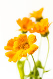 marigold λουλουδιών Στοκ Εικόνα