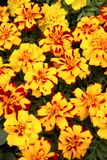 Marigold λουλούδια σε ένα κρεβάτι στοκ φωτογραφία με δικαίωμα ελεύθερης χρήσης