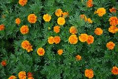 Marigold λουλούδια στον τροπικό κήπο στοκ εικόνα