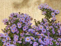 Marigold λουλούδια Στοκ Φωτογραφία