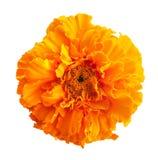 Marigold λουλούδια Στοκ Εικόνα