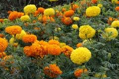 Marigold λουλούδια στοκ φωτογραφία με δικαίωμα ελεύθερης χρήσης