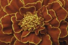 Marigold λουλούδι με τα φωτεινά πορτοκαλιά πέταλα στο θερινό κήπο Στοκ φωτογραφίες με δικαίωμα ελεύθερης χρήσης