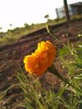 Marigold λουλούδι που αντιμετωπίζει τον ήλιο στοκ εικόνα με δικαίωμα ελεύθερης χρήσης