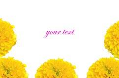 Marigold λουλούδι στην Ταϊλάνδη Στοκ Εικόνα