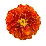 Marigold λουλούδι Στοκ φωτογραφία με δικαίωμα ελεύθερης χρήσης