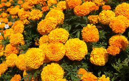 Marigold λουλούδι στοκ εικόνες με δικαίωμα ελεύθερης χρήσης