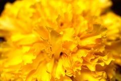 Marigold μακροεντολή Στοκ Εικόνες