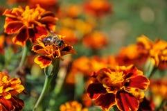 Marigold μελισσών λουλουδιών υπόβαθρο Στοκ φωτογραφίες με δικαίωμα ελεύθερης χρήσης