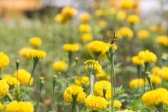 Marigold με τη λιβελλούλη Στοκ Εικόνα