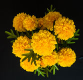 Marigold ομορφιάς Στοκ Εικόνες