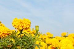 marigold λουλουδιών κίτρινο Στοκ φωτογραφία με δικαίωμα ελεύθερης χρήσης