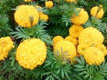 marigold λουλουδιών κίτρινο Στοκ φωτογραφίες με δικαίωμα ελεύθερης χρήσης