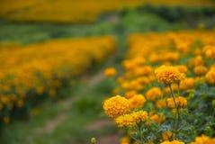 Marigold λουλούδια στην Ταϊλάνδη Στοκ Εικόνες