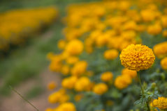 Marigold λουλούδια στην Ταϊλάνδη Στοκ Φωτογραφία