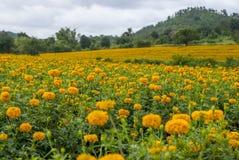 Marigold λουλούδια στην Ταϊλάνδη Στοκ εικόνα με δικαίωμα ελεύθερης χρήσης