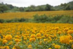 Marigold λουλούδια στην Ταϊλάνδη Στοκ φωτογραφία με δικαίωμα ελεύθερης χρήσης