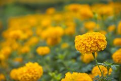 Marigold λουλούδια στην Ταϊλάνδη Στοκ Εικόνα