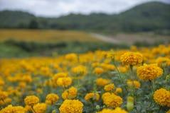 Marigold λουλούδια στην Ταϊλάνδη Στοκ φωτογραφίες με δικαίωμα ελεύθερης χρήσης
