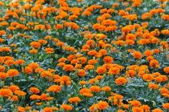 Marigold λουλούδια στο αγρόκτημα Στοκ φωτογραφία με δικαίωμα ελεύθερης χρήσης