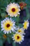 Marigold λουλούδια Στοκ εικόνες με δικαίωμα ελεύθερης χρήσης