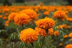 Marigold λουλούδια Στοκ Εικόνες