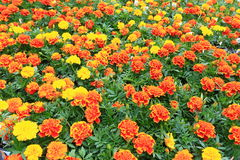 Marigold λουλούδια Στοκ Φωτογραφίες