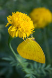 Marigold λουλούδι με την κίτρινη πεταλούδα Στοκ Εικόνες