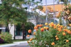 Marigold λουλούδι μπροστά από το σπίτι θαμπάδων Στοκ φωτογραφίες με δικαίωμα ελεύθερης χρήσης