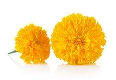 Marigold λουλούδι στο άσπρο υπόβαθρο Στοκ Εικόνα