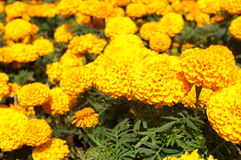 Marigold λουλούδι στοκ εικόνα με δικαίωμα ελεύθερης χρήσης