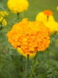 Marigold λουλούδι Στοκ Φωτογραφία