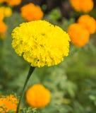 Marigold λουλούδι Στοκ φωτογραφίες με δικαίωμα ελεύθερης χρήσης