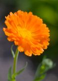 marigold πεδίων calendula πορτοκαλί δοχ& Στοκ Φωτογραφίες