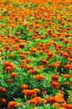 Marigold πεδίο Στοκ Εικόνες