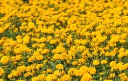 Marigold πεδίο Στοκ φωτογραφία με δικαίωμα ελεύθερης χρήσης