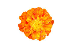 Marigold που απομονώνεται στο άσπρο υπόβαθρο Στοκ Εικόνα