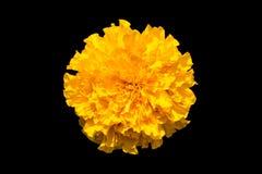 Marigold που απομονώνεται στο μαύρο υπόβαθρο Στοκ Φωτογραφίες