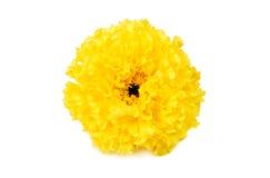 Marigold σε μια άσπρη ανασκόπηση στοκ εικόνες με δικαίωμα ελεύθερης χρήσης