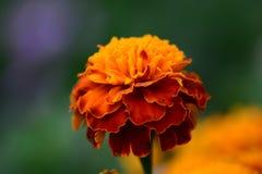marigold στενός επάνω λουλουδιών Στοκ φωτογραφία με δικαίωμα ελεύθερης χρήσης
