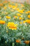Marigold στον κήπο Ταϊλάνδη στοκ εικόνα
